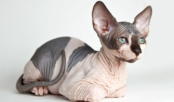 Spotted Sphynx Cat