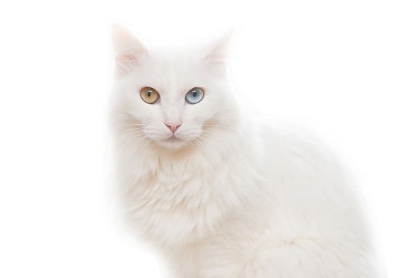 Fall In Love With The Beautiful Turkish Angora Cat Prettylitter