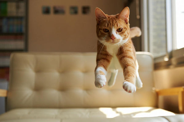 cat jumping and landing on it's feet