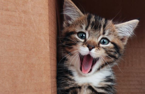 happy kitten with open mouth