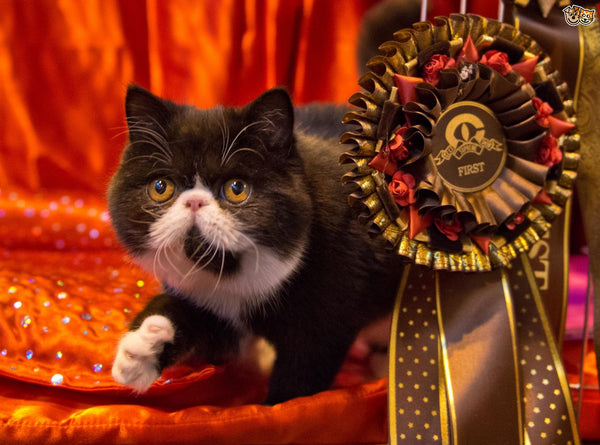 pedigree cat show winner