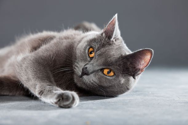 grey cat with yellow eyes