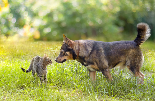 cat and dog meeting outside