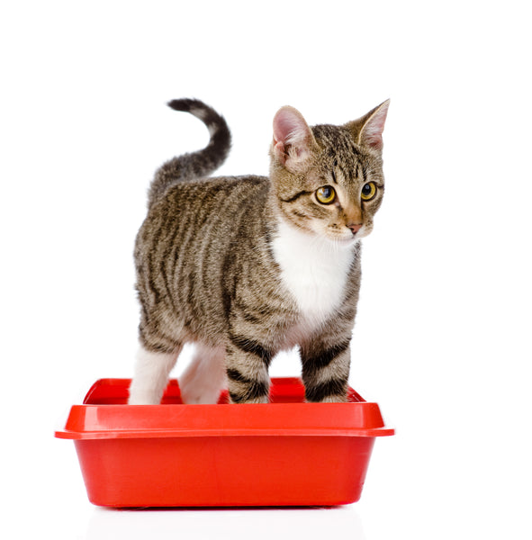 cat in undersized litter box