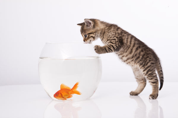 cat meeting goldfish