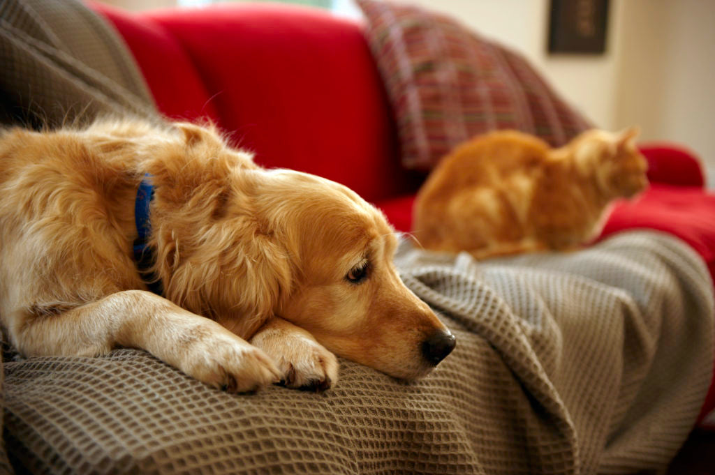 pet dander on couch