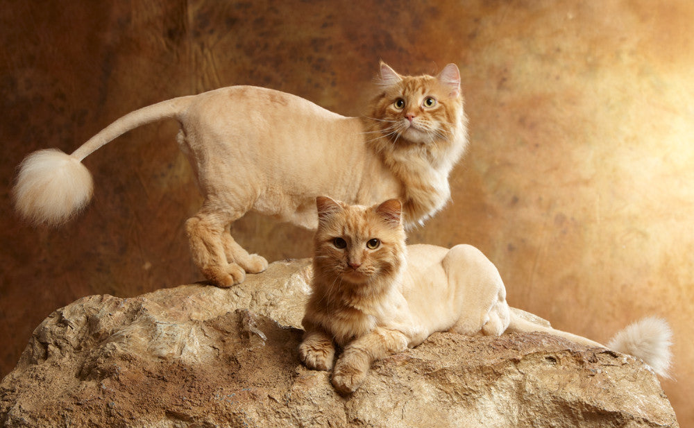 Luxurious Cat Grooming To Pamper Your Kitty