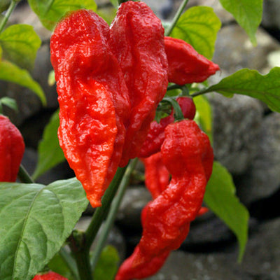 "Bhut Jolokia Hot Pepper ""the hottest in the world"" - أحر فلفل في العالم"