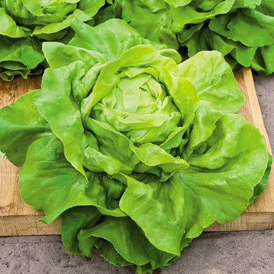 Lettuce Buttercrunch - خس البتركرنش