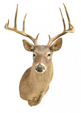 LARGE WHITETAIL DEER TAXIDERMY TROPHY MOUNT - Old Europe Antique Home Furnishings