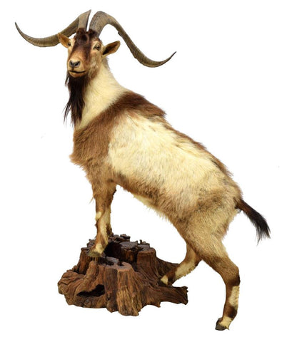 "FULL BODY GOAT TAXIDERMY MOUNT, 27"" HORNS - Old Europe Antique Home Furnishings"