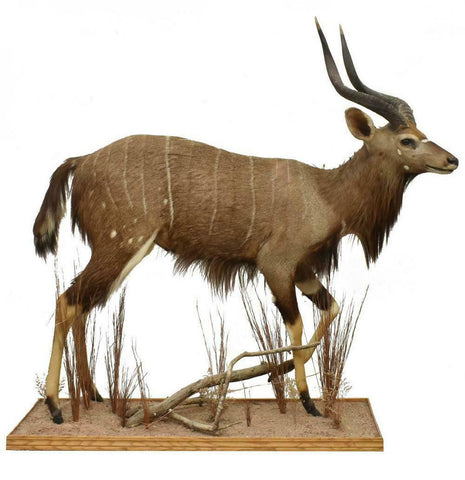 Antelope Taxidermy, Full Body Nyala, Handsome Man Cave Decor!!! - Old Europe Antique Home Furnishings