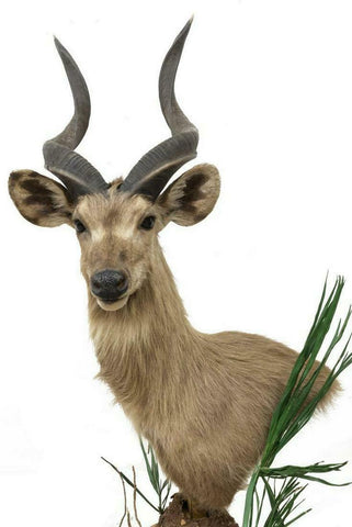 HANDSOME TAXIDERMY SITATUNGA-SWAMP ANTELOPE SHOULDER MOUNT!! - Old Europe Antique Home Furnishings