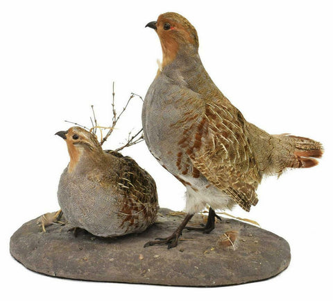 TAXIDERMY, HUNGARIAN PARTRDGE MOUNT!!! - Old Europe Antique Home Furnishings