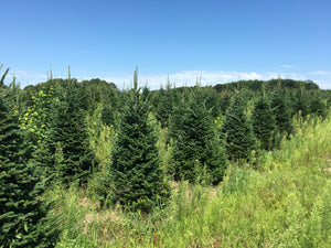 Fraser Fir Christmas tree farm field