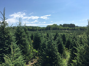 Field of Fraser Firs