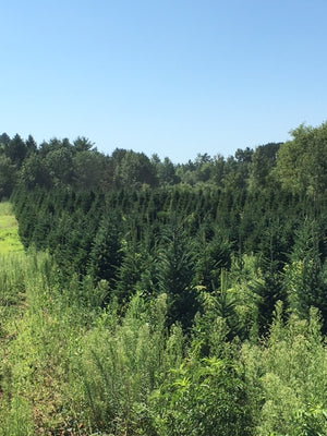 Field of Christmas trees at a Farm