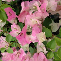 Great Impressions Double Veiners - Bougainvillea Petal