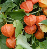 Great Impressions Double Veiners - Physalis (Chinese Lantern) Set
