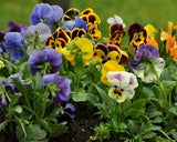 Great Impressions Double Veiners - Pansy Set