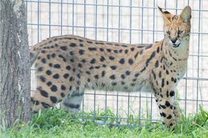 Serval Digital Download Photo