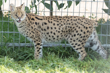 Load image into Gallery viewer, Serval Digital Download Photo