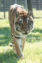 Load image into Gallery viewer, Tiger Digital Download Photo