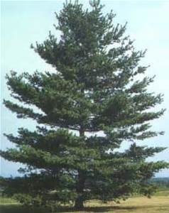 Pine Trees and their Medicinal Uses – Farm to Bath