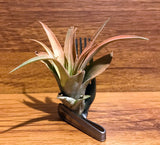 Tilla Critters Fork in the Road One of a Kind Airplant Creations by Chili Fiesta Handiworks