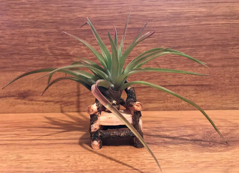 Tilla Critters Kahuna One of a Kind Airplant Creations by Chili Fiesta Handiworks