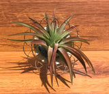 Tilla Critters Plated One of a Kind Airplant Creations by Chili Fiesta Handiworks