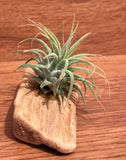 Tilla Critters Wilson One of a Kind Airplant Creations by Chili Fiesta Handiworks
