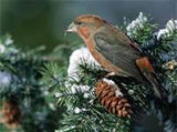 bird in pines