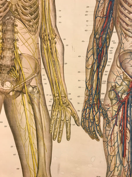 SOLD OUT  American Froshe Anatomical Chart