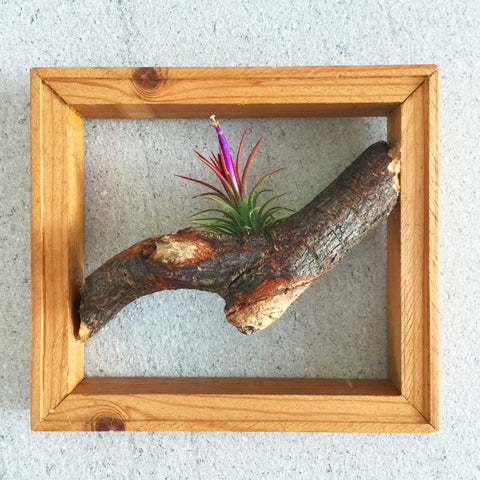 Air Plant Wooden Frame