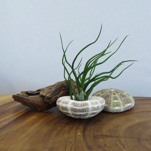 Tillandsia Bulbosa with Alfonso Denuded Sea Urchin