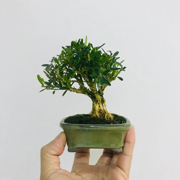 Mame Boxwood Bonsai