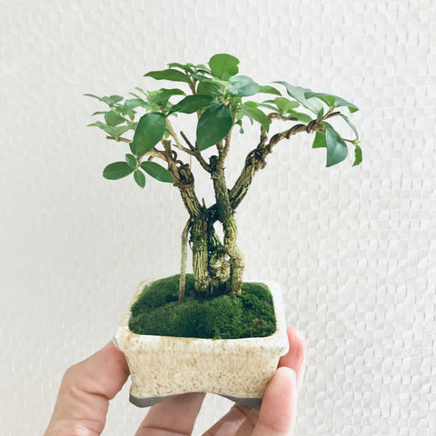 Mame Dwarf Cherry Bonsai