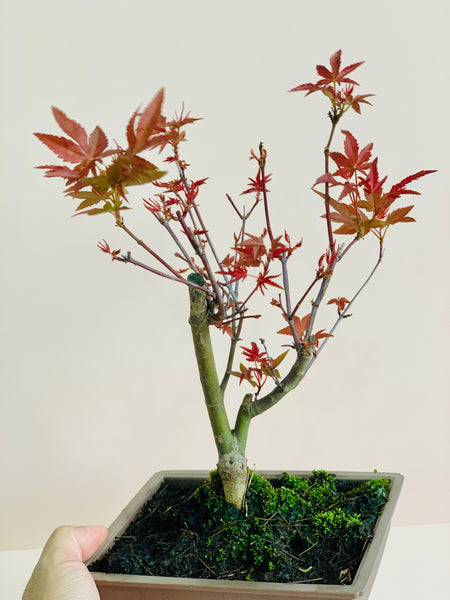 Maple bonsai (Acer palmatum)