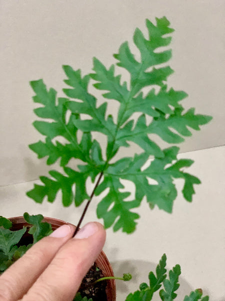 Adiantum spp - (Maidenhair Fern)