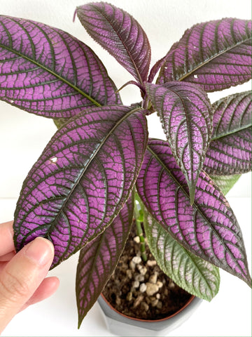 Strobilanthes dyerianus (aka Persian Shield)