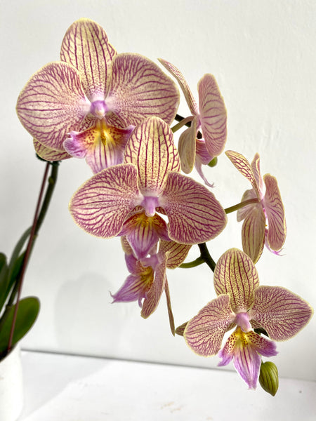 Phalaenopsis (Cream Yellow, Purple Veins)