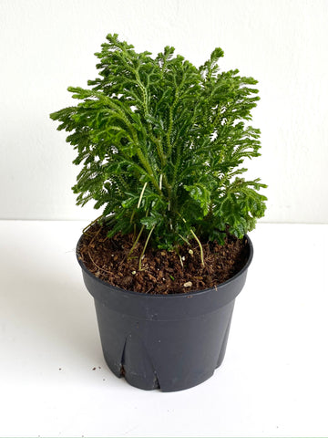 Selaginella Green