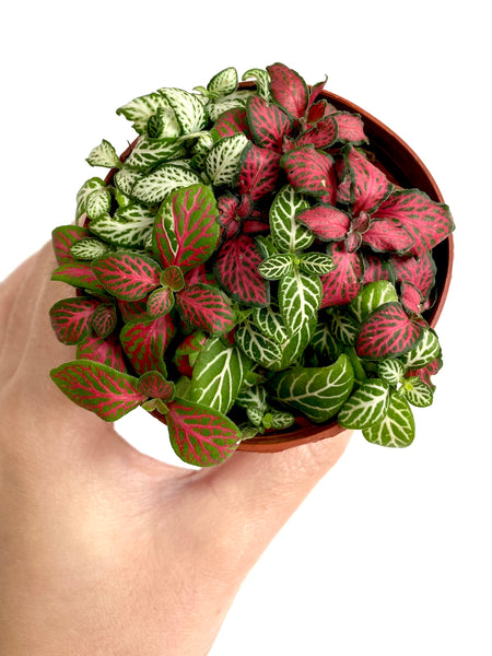 Mixed Fittonia