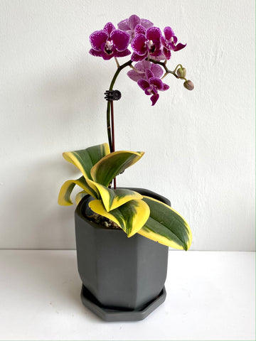 Phalaenopsis (Purple Spotted Petals, Variegated Leaves)