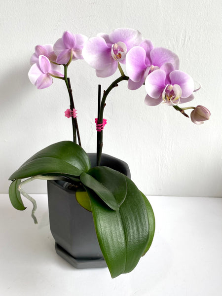 Phalaenopsis (White-Light Purple Ombre)