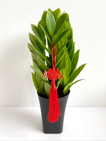 Chinese New Year ZZ Plant