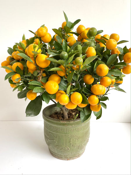 Chinese New Year Calamondin Orange Shrub in Jade Pot