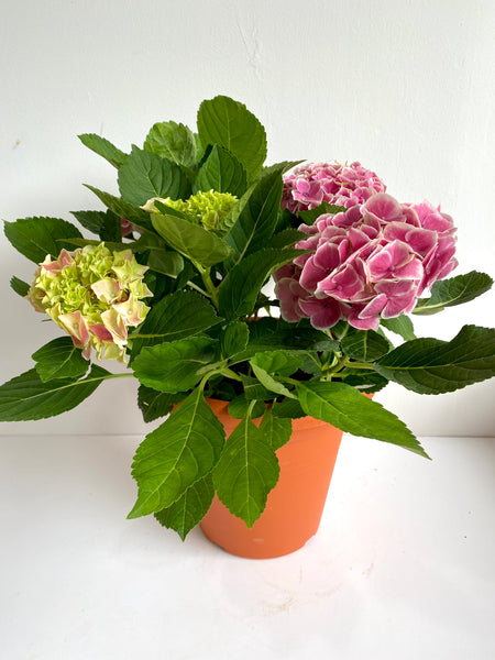 Pink Hydrangea with White Margins