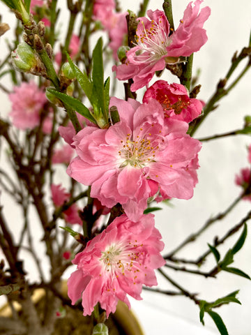 Chinese New Year Peach Blossom